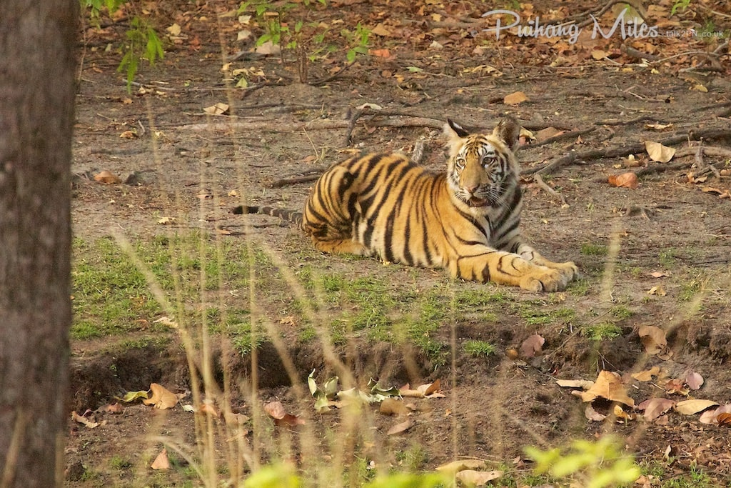 Chorbehra Female Tiger Cub