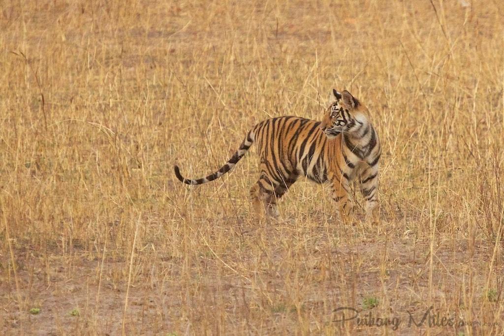 Chorbehra Male Tiger Cub