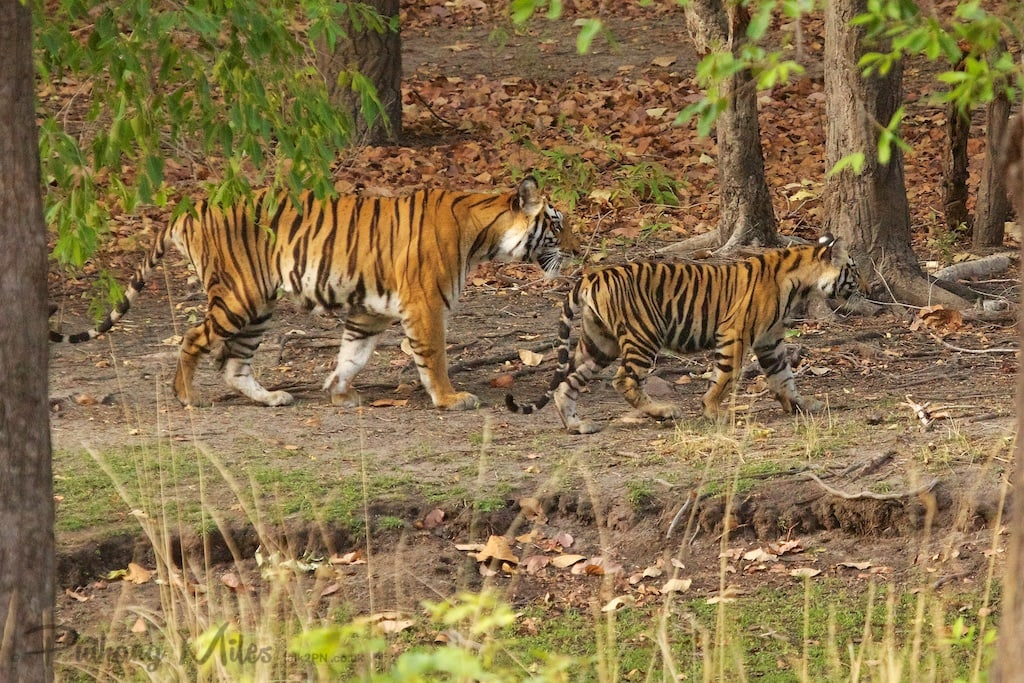 Chorbehra Tigress and cub