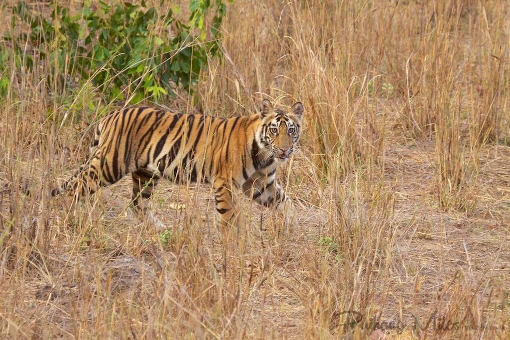 Female tiger cub on the plains