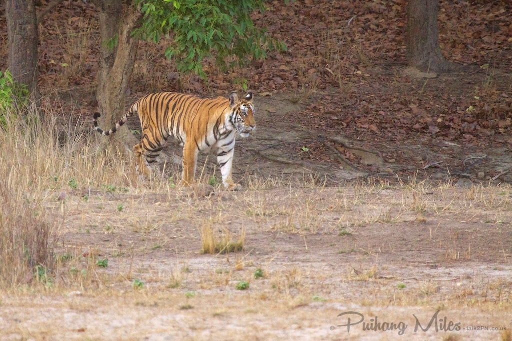 Stalking tigress