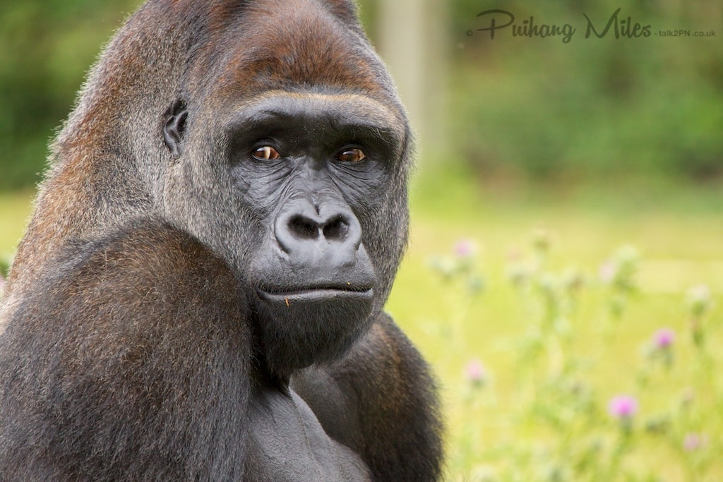 Gorilla looking back