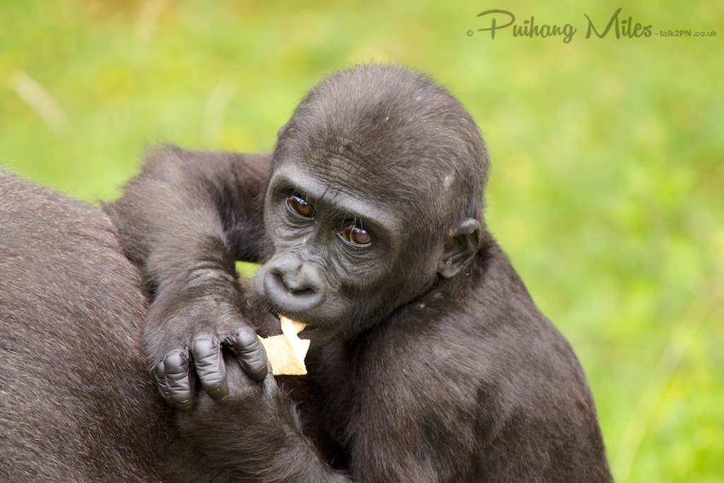 young gorilla photographed at port lympne