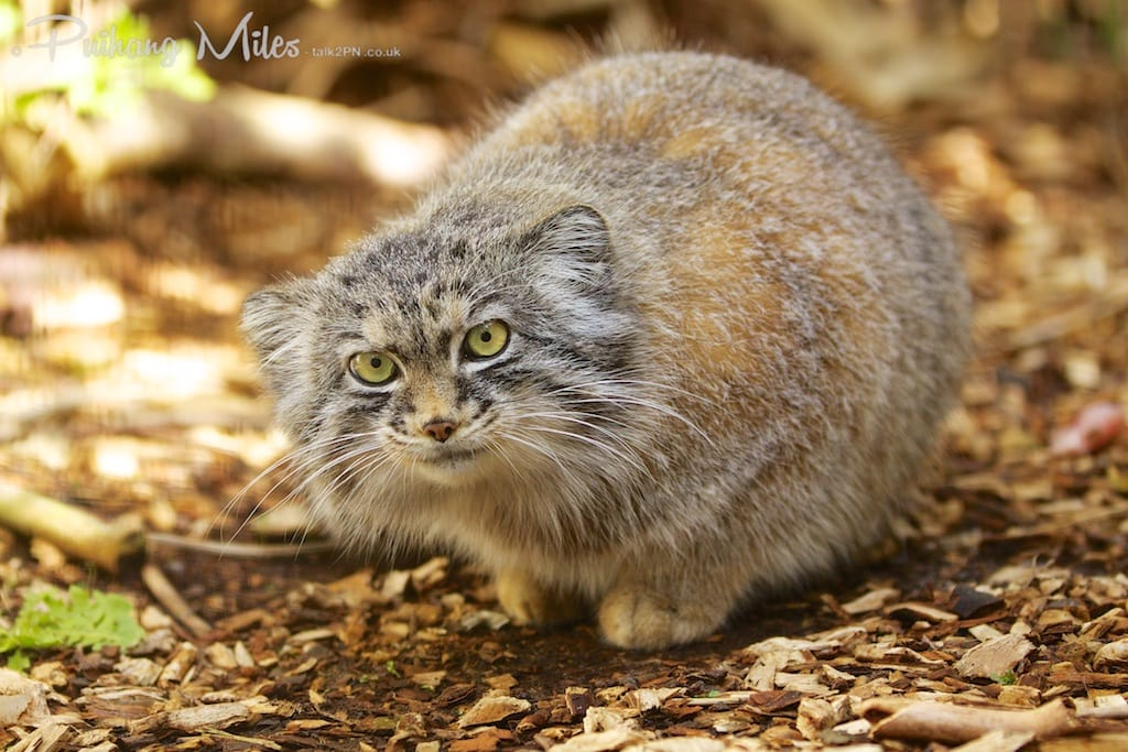 Pallas Cat from the Cat Survival Trust