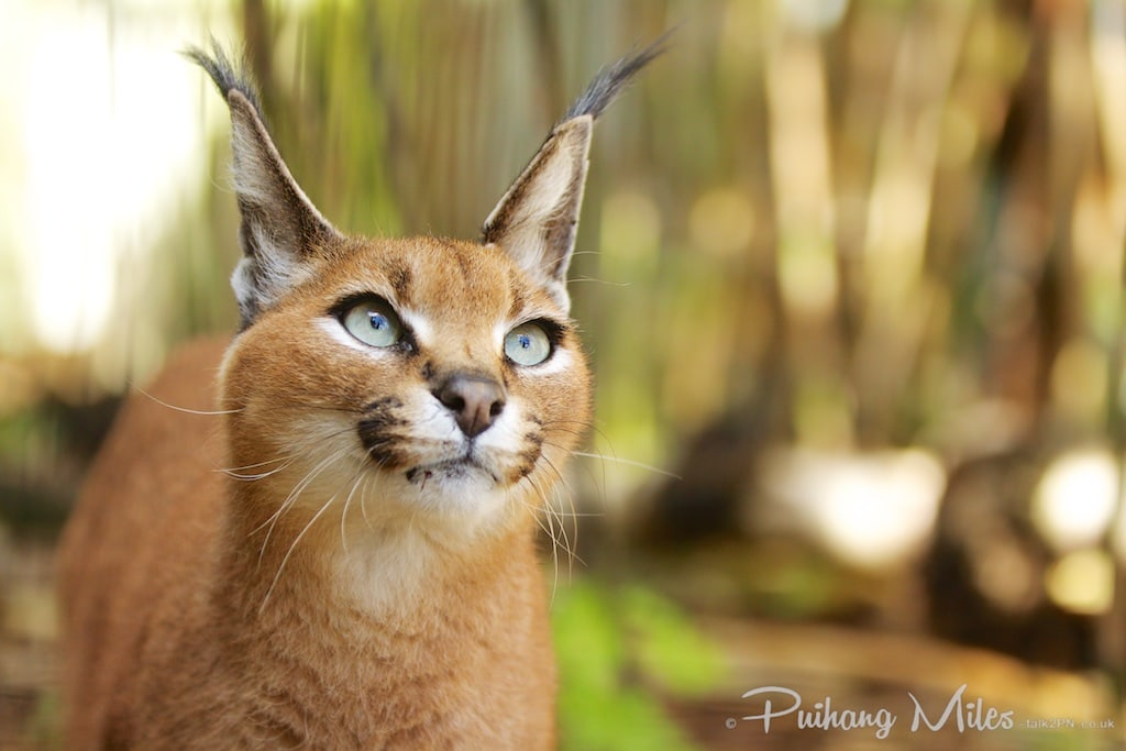 Caracal cat photography at the Cat Survival Trust by Pui Hang Miles
