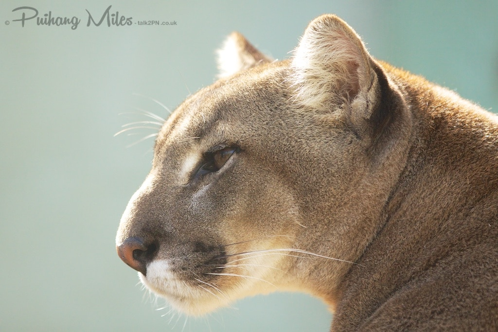 Puma in profile as photographed by Pui Hang Miles