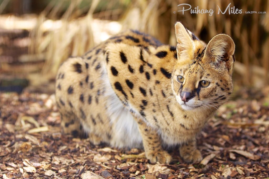 serval cat photographed at the cat survival trust by Pui Hang Miles