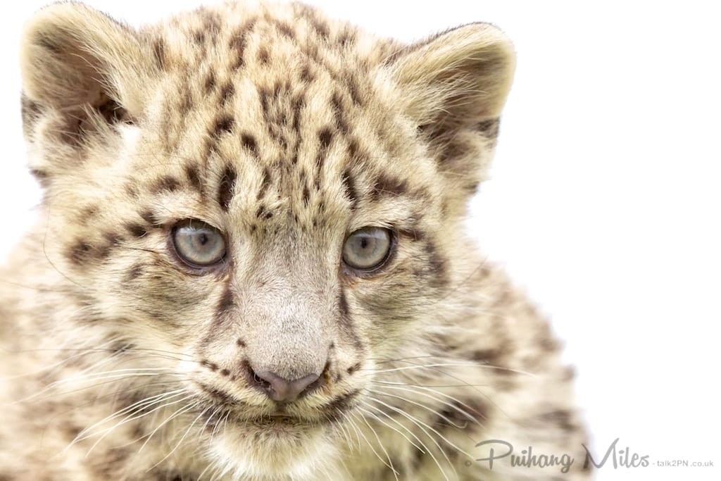 Snow Leopard Cub from the Cat Survival Trust