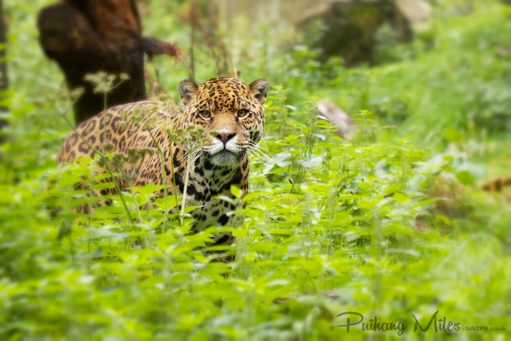Jaguar in foliage as photographed by Pui Hang Miles at Dartmoor Zoo