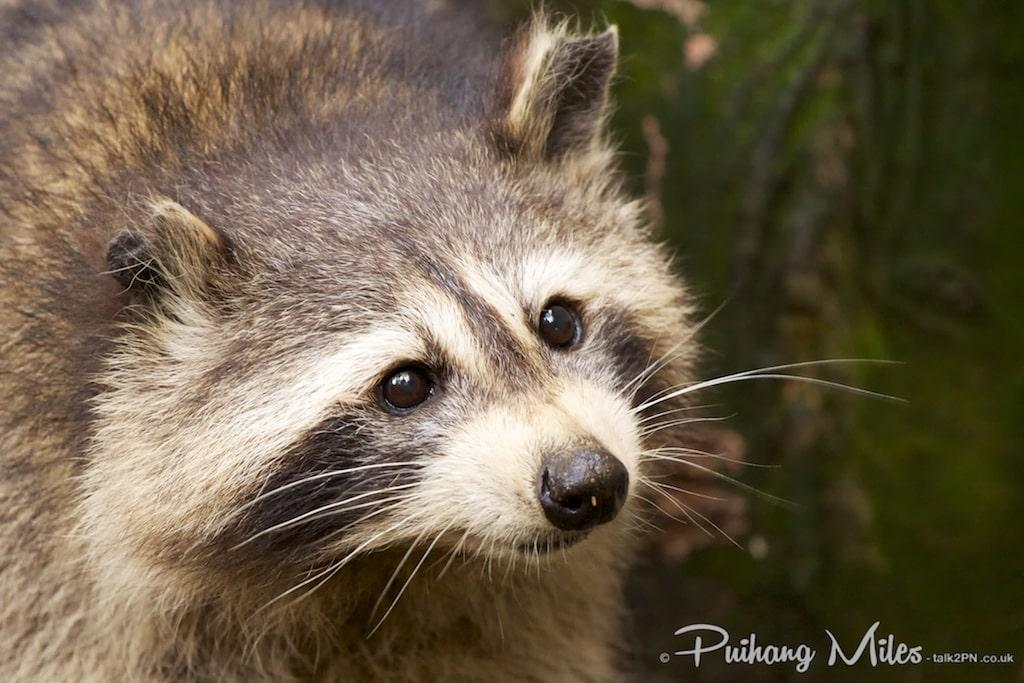 Raccoon from Dartmoor Zoo