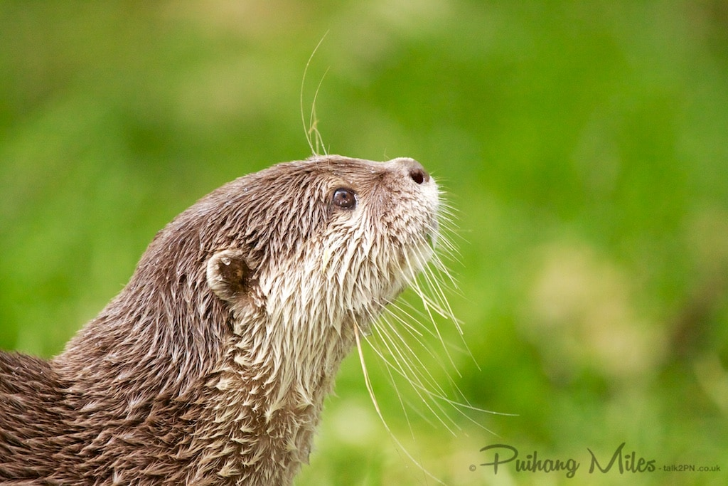 short-clawed otter looking up