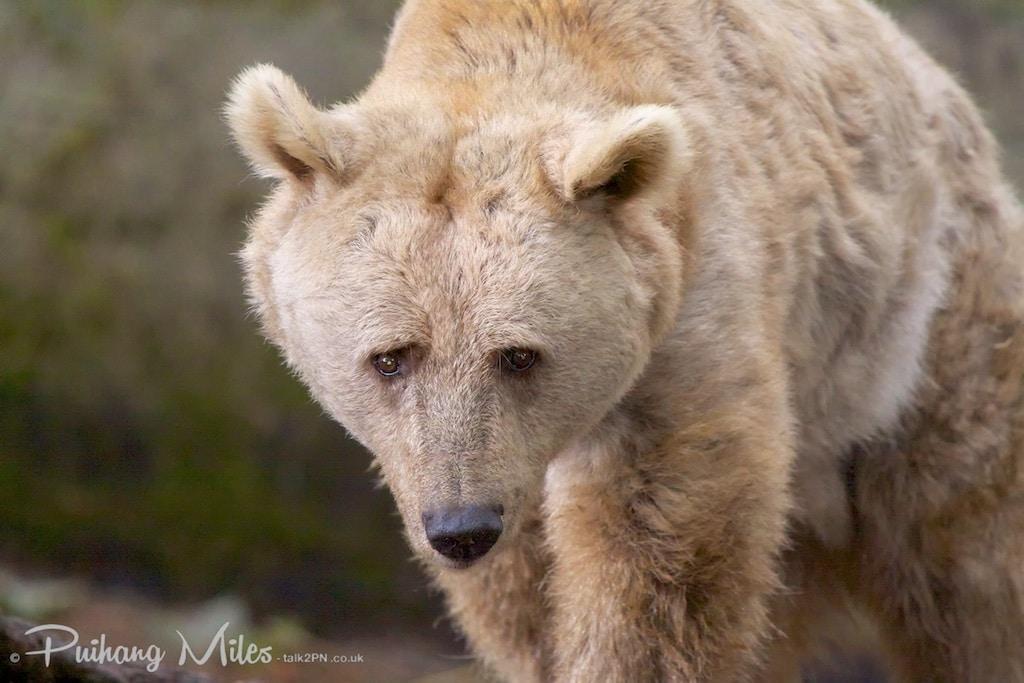 Syrian Brown Bear as photographed at Dartmoor Zoo
