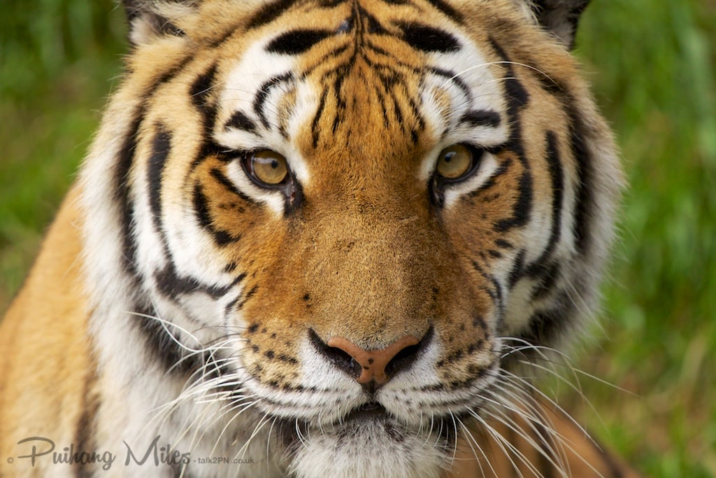 Close-up of an amur tiger