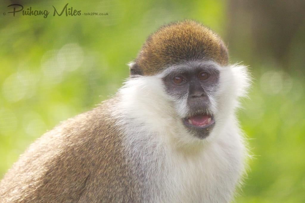 vervet monkey at dartmoor zoo