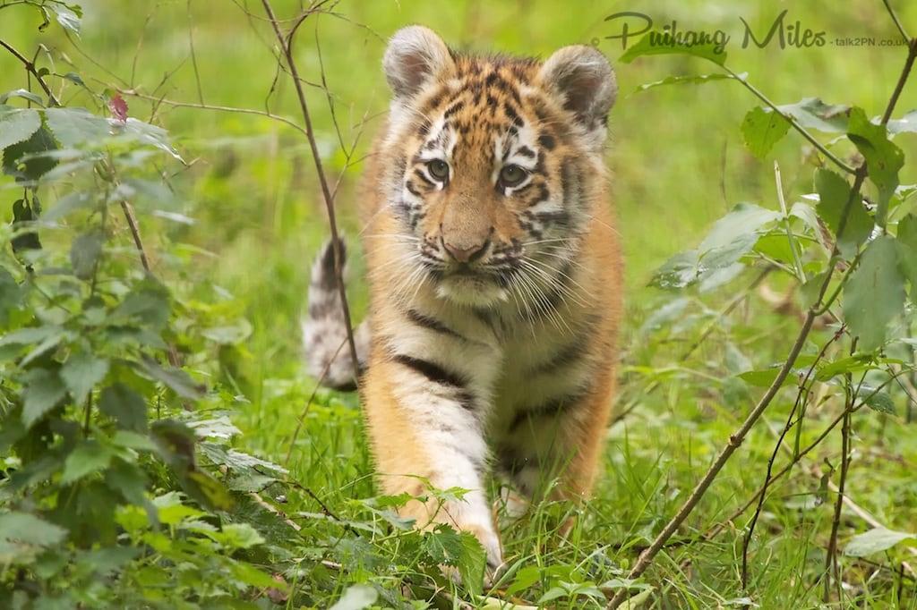 Amur tiger cub at Port Lympne