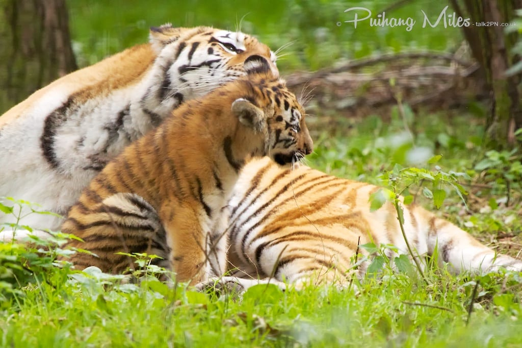 Tigress cleaning her cub's ear