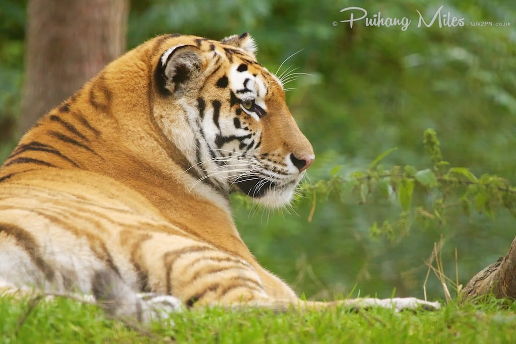 Port Lympne big cat - amur tiger