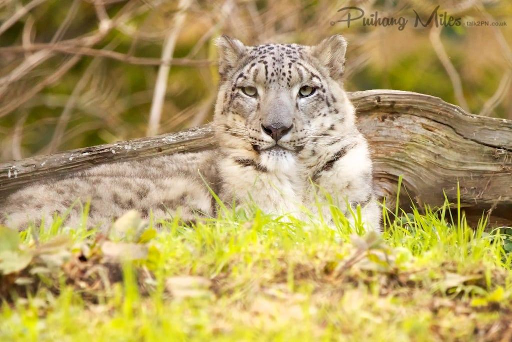 Snow Leopard Queen