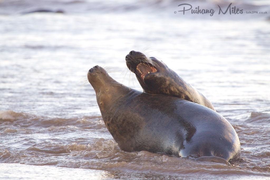 Flirting seals at Donna Nook