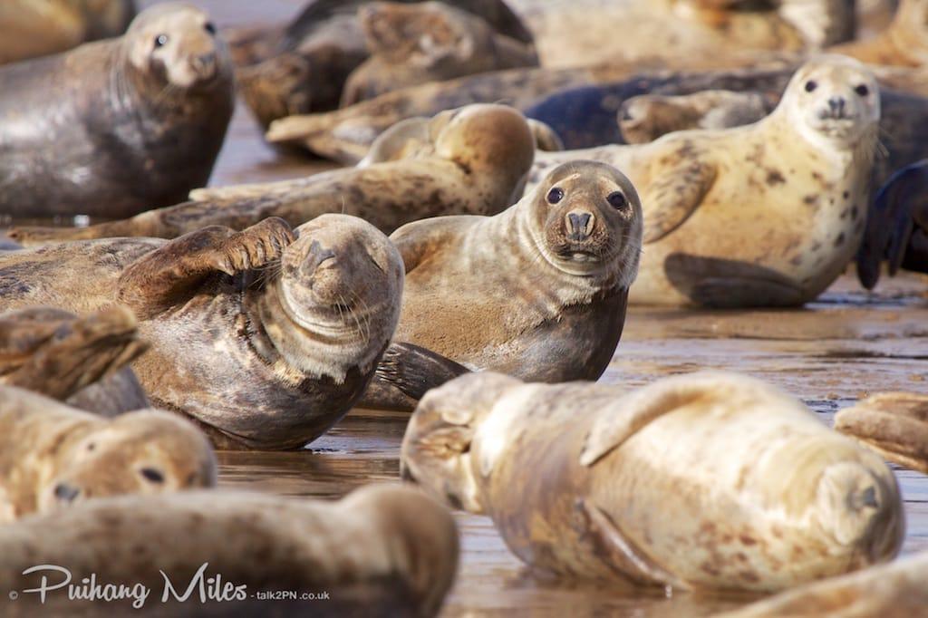 Grey seal pod at Donna Nook