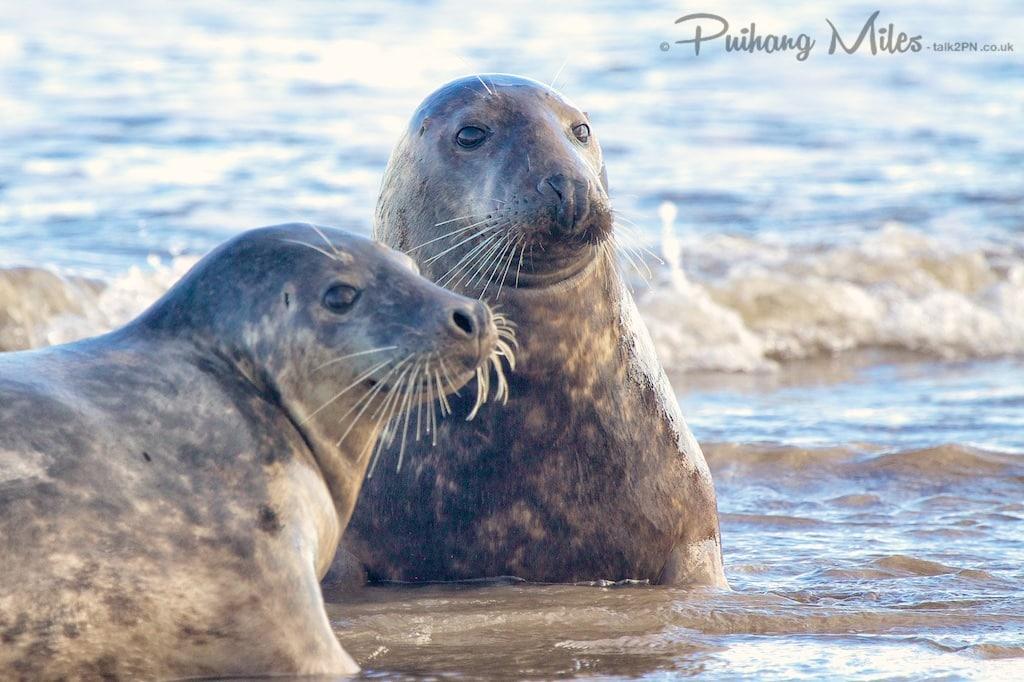 seal playmates at Donna Nook