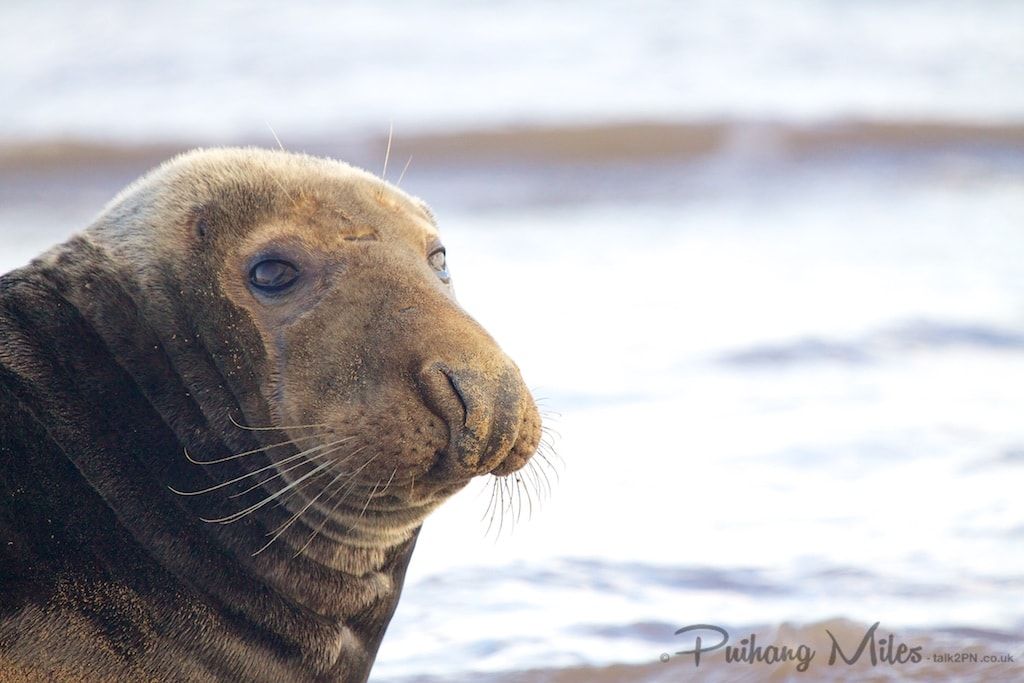 Lone bull seal photographed by Pui Hang Miles at Donna Nook