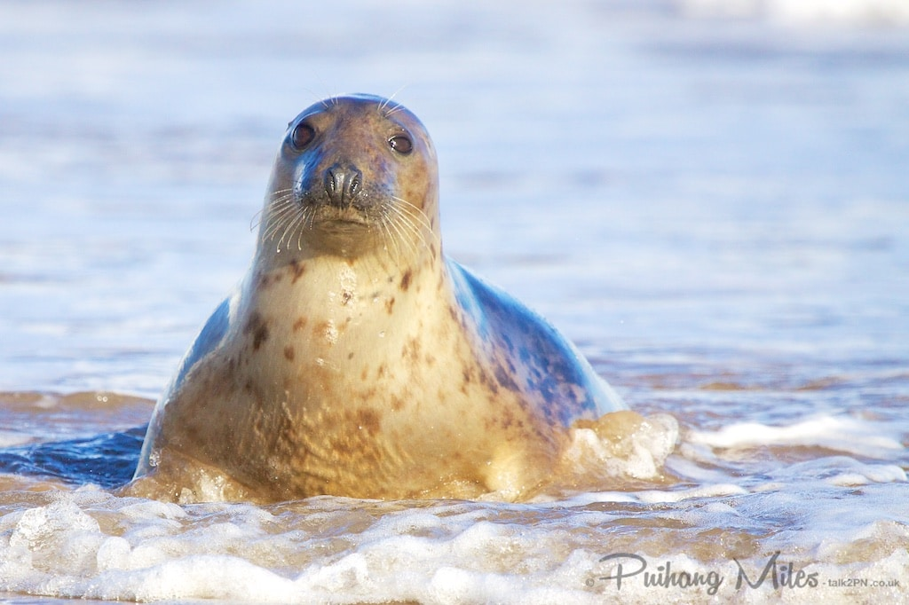 Seal posing in the surf at Donna Nook