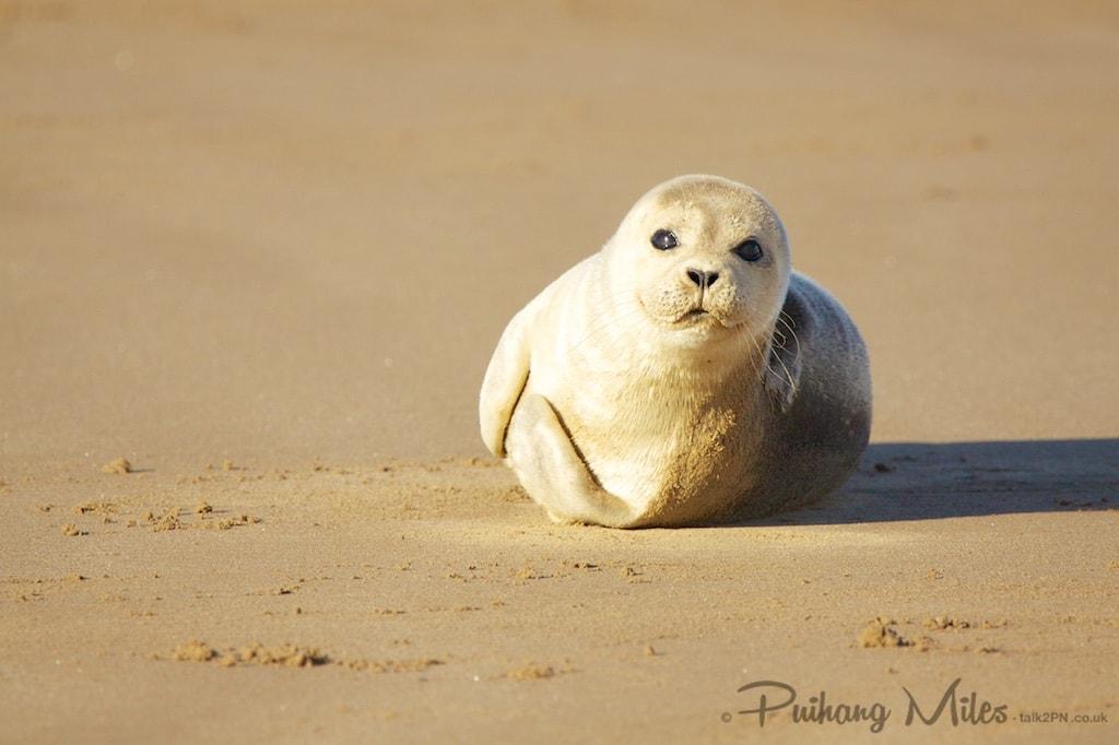 Smiley seal pup at Donna Nook