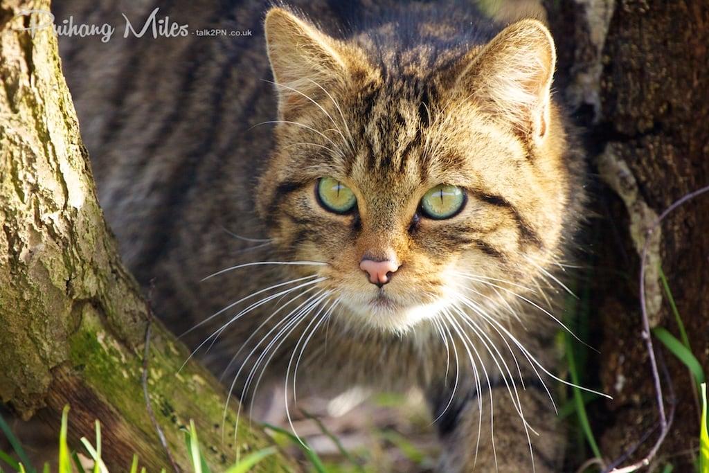 female scottish wildcat
