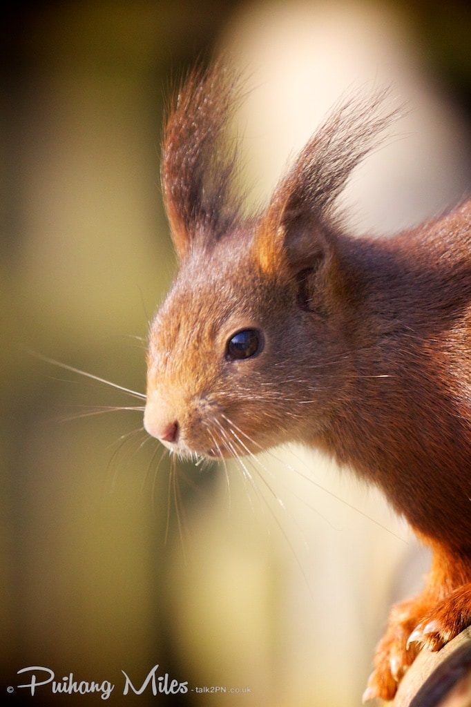 Red squirrel from the British Wildlife Centre