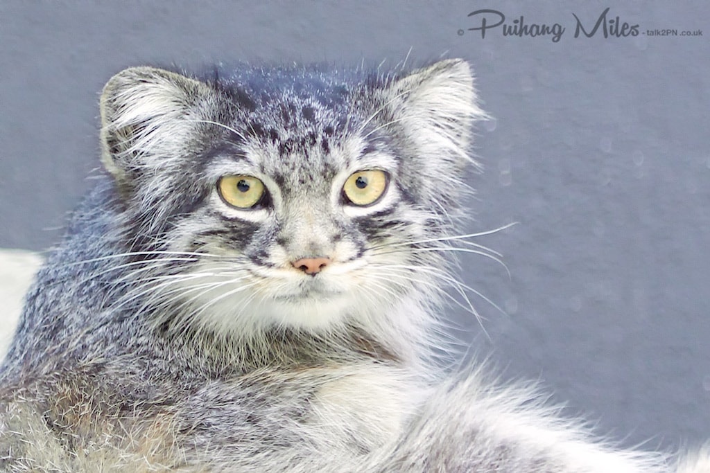 Wise face of a Pallas Cat