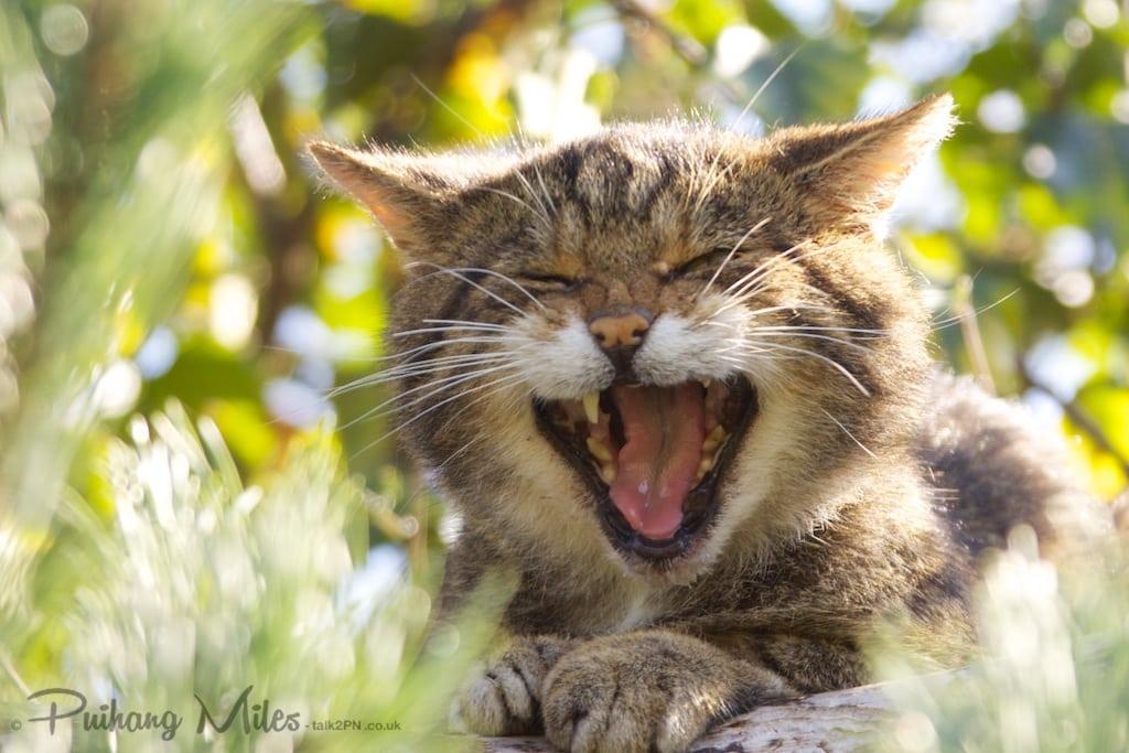 Scottish wildcat yawning