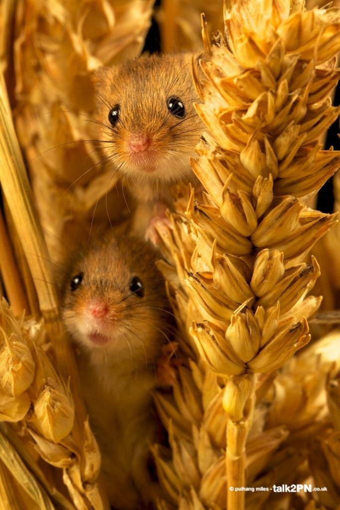 Baby Harvest Mice peeking through corn