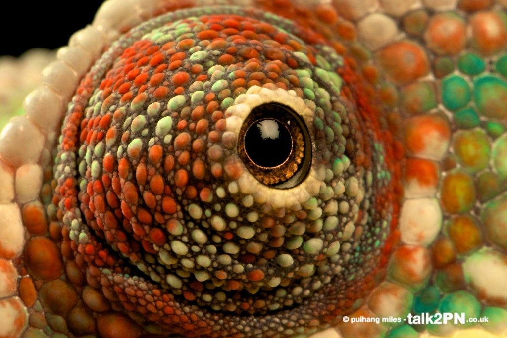 Close up of Panther Chameleon eyeball