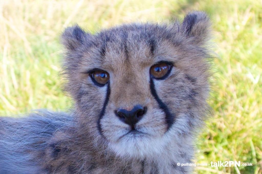 Cheetah Cub close-up