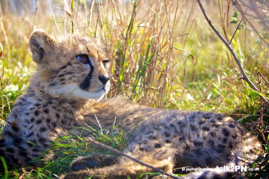 Cheetah Cub lying in grass