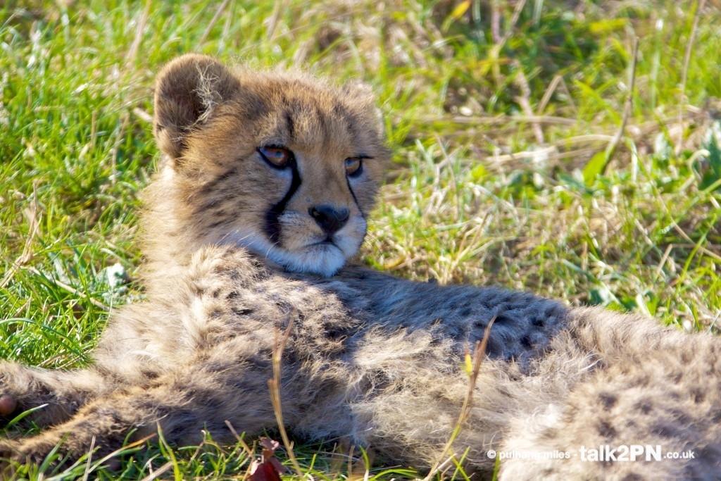 Cheetah cub resting in the grass