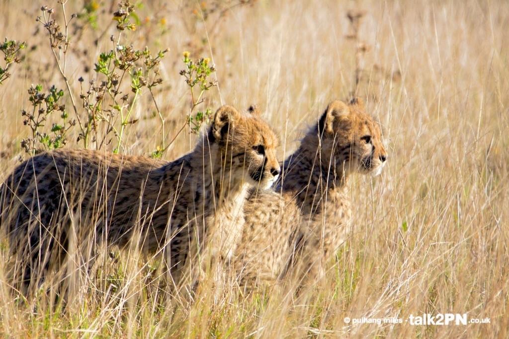 Cheetah cub siblings