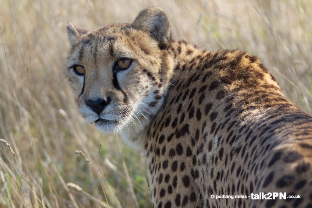 Cheetah looking back