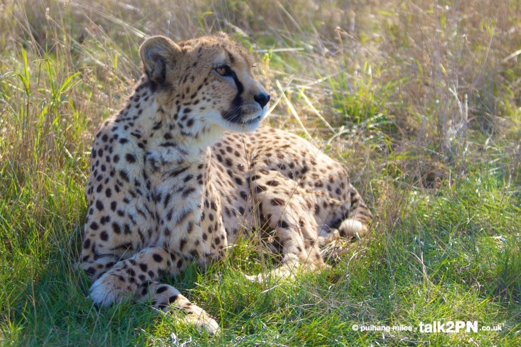 Cheetah sitting with crossed paws