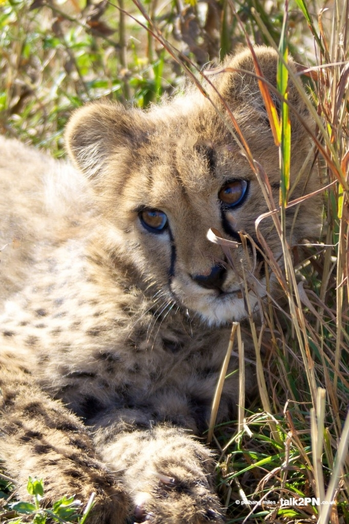 Coy cheetah cub