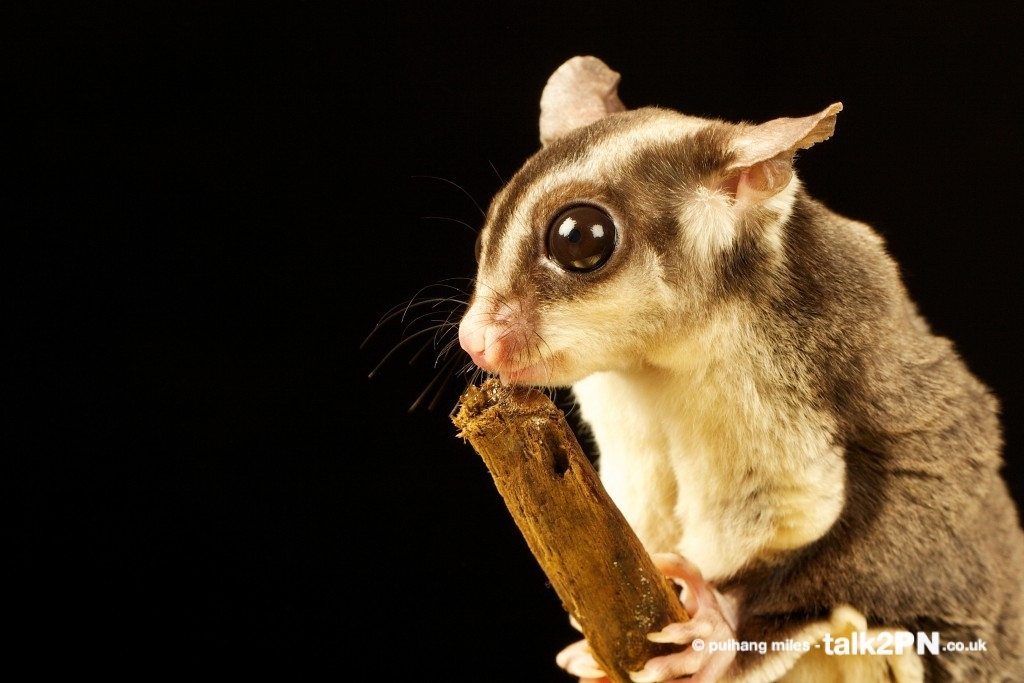 Flying Squirrel also known as Sugar Glider