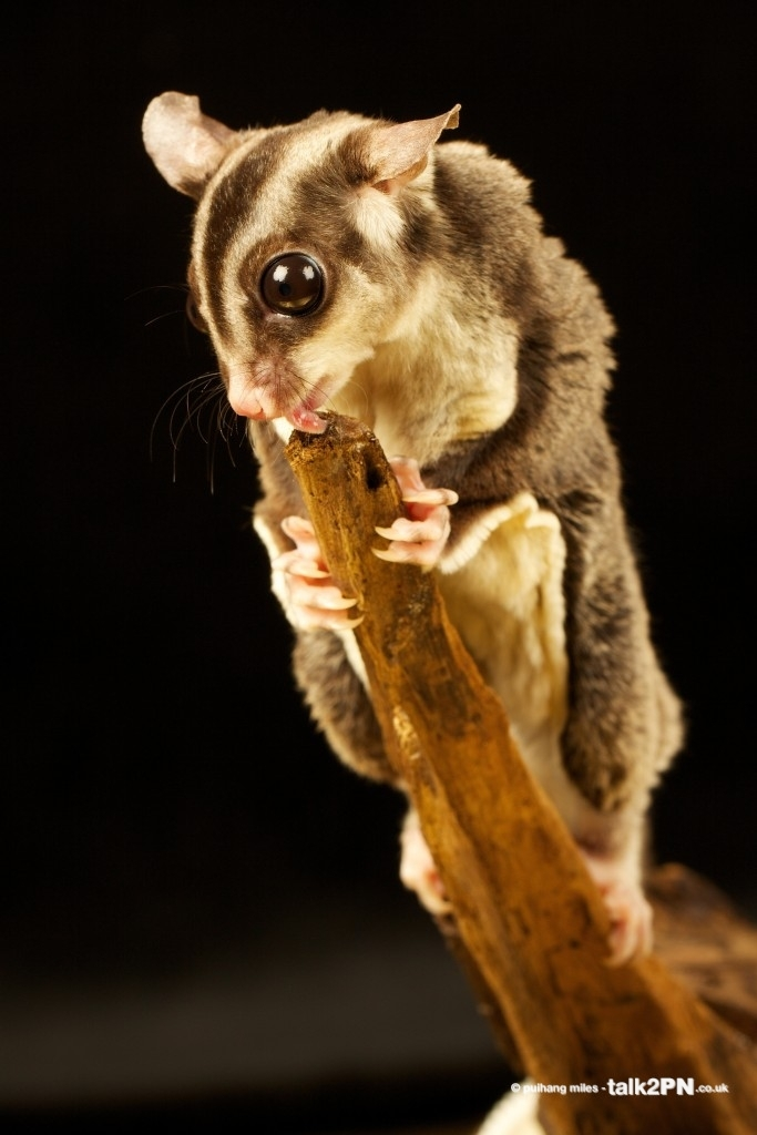Flying Squirrel licking honey off the top of a branch