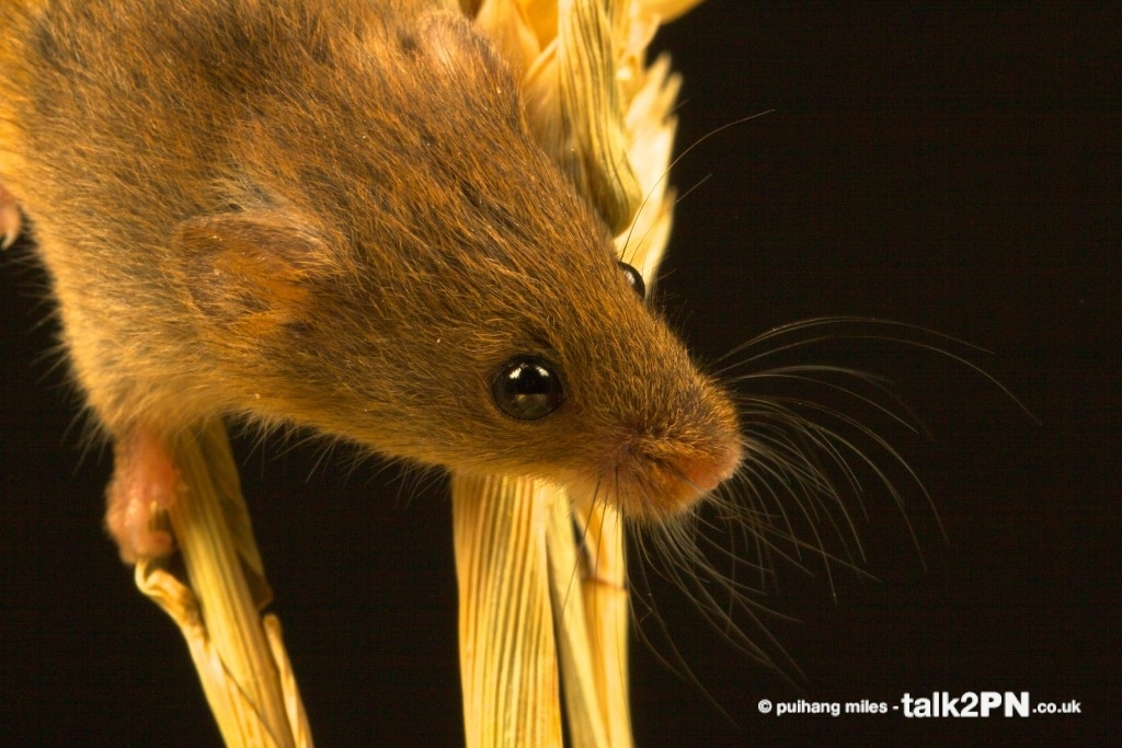 Close up of a Harvest Mouse