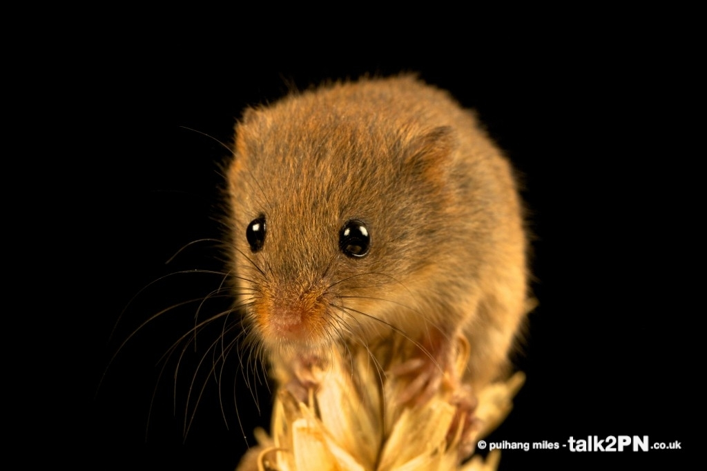 Harvest Mouse sat on top of corn
