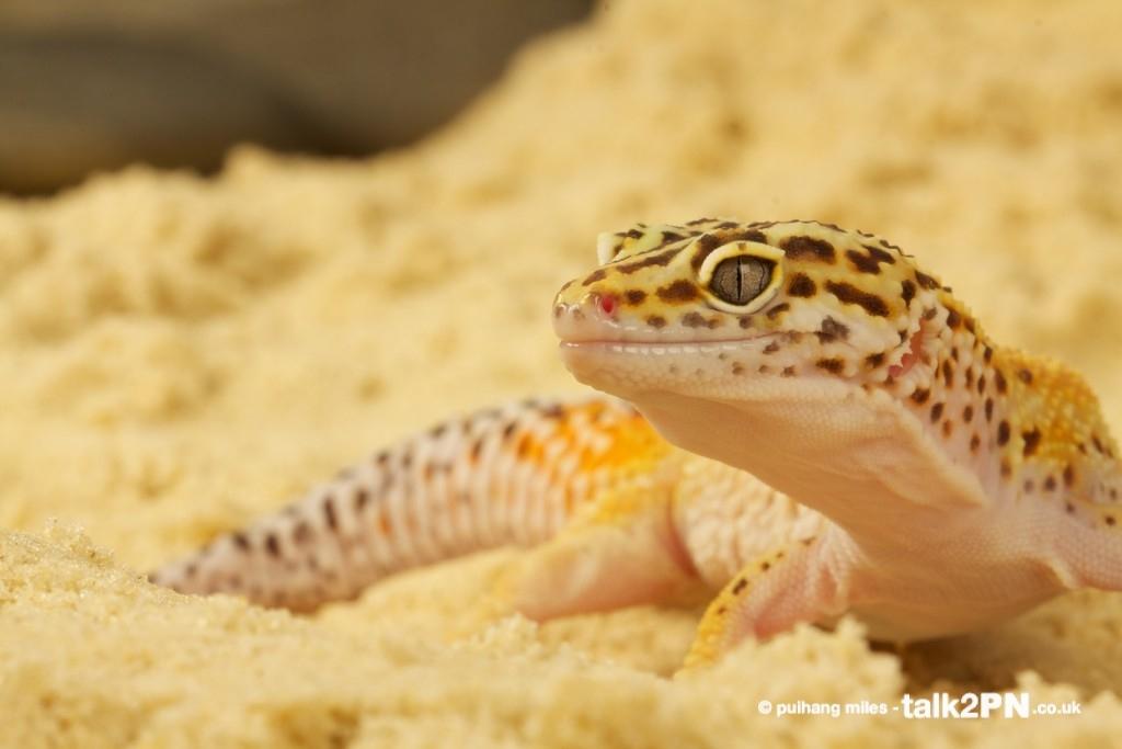 Leopard Gecko in sand
