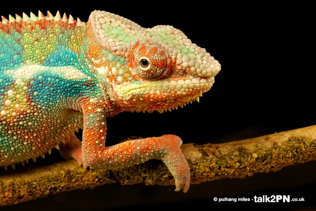 Panther Chameleon in profile