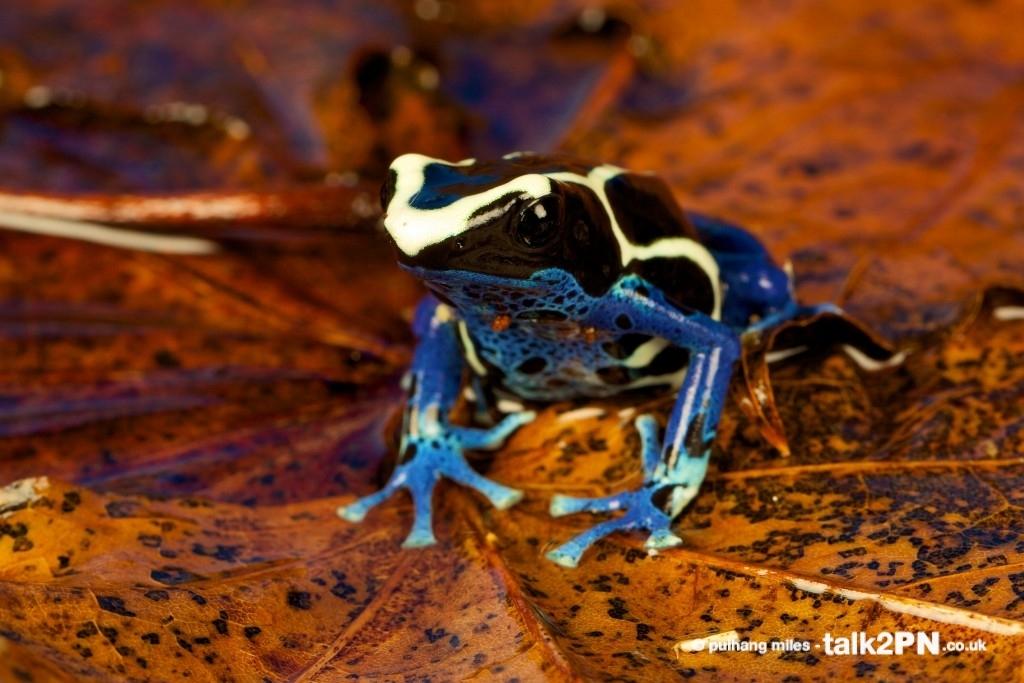 Poison Arrow Frog sat on wet leaf