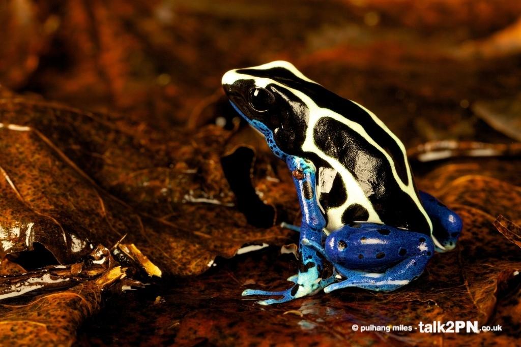 Posion Dart Frog in profile