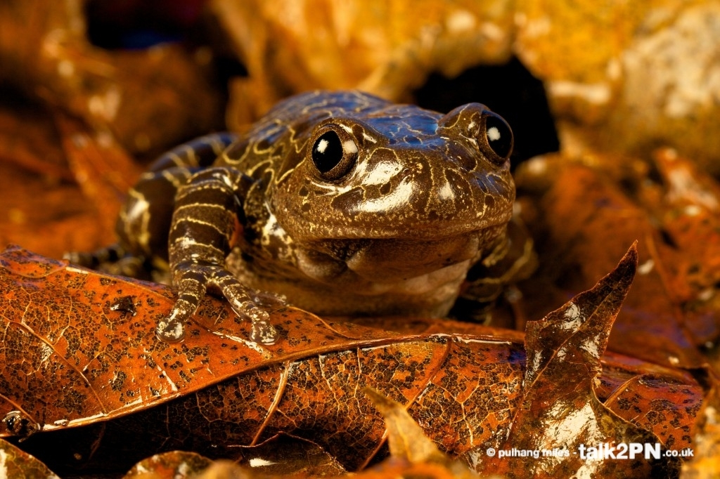 Tiger Leg Frog